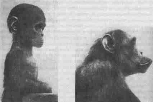 Illustration: Palmer (2003) p 60 - Old and young chimpanzee